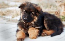 German Shepherd pictures