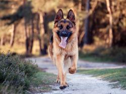HD Wallpaper   Background ID:423731. 1600x1200 Animal German Shepherd
