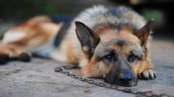 german-shepherd-wallpaper-tied-with-chain ...