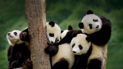 Giant Pandas cubs