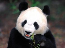 China Giant Panda China Giant Panda