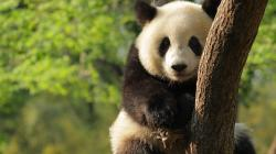 Giant-Panda-Widescreen-Desktop