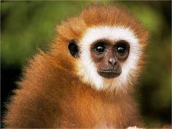 Gibbon · Gibbon · Gibbon · Gibbon · Gibbon ...
