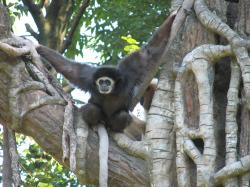 Climbing lar gibbon showing the darker fur of some individuals