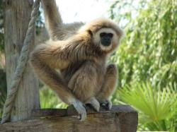Gibbon With one hand on Rope and One On Board and Penetrating Look On Face