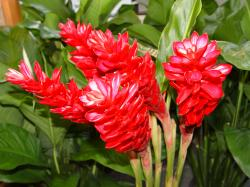 Red Ginger flowers available at Field of Flowers in South Florida