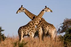 Male giraffes will engage in necking to establish dominance.