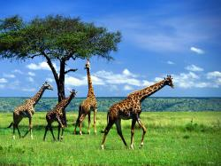 pictures of giraffes