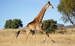 Giraffe #02 Image ...