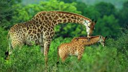 giraffe hd wallpaper free 1080p