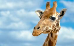 Giraffe Wallpaper 6