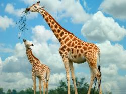 Baby Giraffe Pictures 5 HD Wallpapers