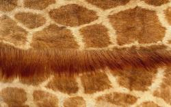 Desktop backgrounds · Computers · Windows 7 Giraffe skin pattern
