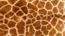 Description: The Wallpaper above is Giraffe texture Wallpaper in Resolution 1600x900. Choose your Resolution and Download Giraffe texture Wallpaper
