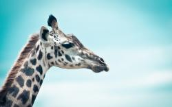 Giraffe Wallpaper 23103