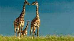 Giraffe Wallpaper Download Hd Wallpapers