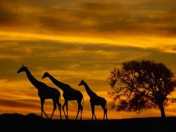 Three Giraffe on Sunset Wallpaper Wallpaper