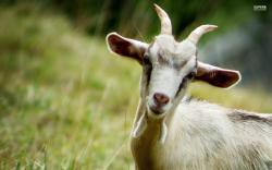Smiling goat wallpaper 1920x1200 jpg