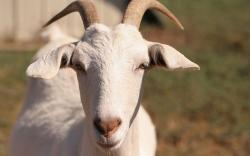 Free Goat Wallpaper 10171