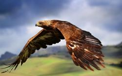 Golden Eagle photos 2