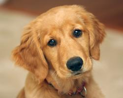 Golden Retriever Puppy Wallpapers