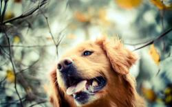 Golden Retriever Dog Autumn Photo