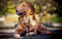 Golden Retriever Dog Friend