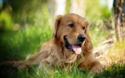 Animal Dog Golden Retriever HD Wallpaper 2 is High Definition Wallpapers for pc desktop,laptop or gadget. Animal Dog Golden Retriever HD Wallpaper 2 is part ...