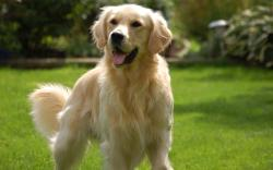 HD Wallpaper | Background ID:413380. 1920x1200 Animal Golden Retriever