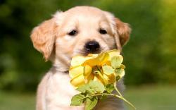Cute Golden Retriever Wallpaper