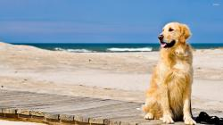 ... Golden Retriever on a Beach wallpaper 2560x1440 ...