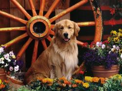 cute golden retriever dogs hd wallpapers cool desktop background photographs widescreen