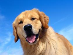 ... Golden Retriever HD Wallpaper (7) ...