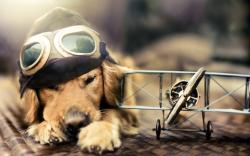 funny golden retriever dogs high definition wallpapers cool desktop background images widescreen
