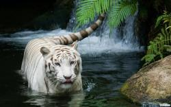White-Tigers-Animal-Best-HD-Wallpaper-Collection