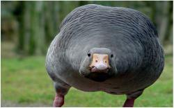 DOWNLOAD: angry goose free picture 2560 x 1600