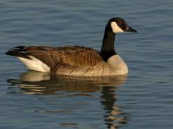 (USA), Canada goose