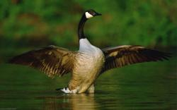 Animal - Goose Bird Green Geese Animal Wallpaper