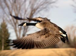 High Definiton Wallpapers in the Birds & Animals • Photography named as Goose HD desktop (High defination) Wallpapers are listed above.