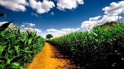 Gorgeous Corn Wallpaper