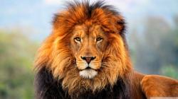 Gorgeous Lion Wallpaper 12642