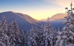 Gorgeous Snow Pine Wallpaper 13622