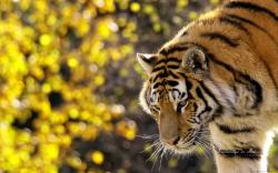 Gorgeous Tiger Wallpaper 40404 1920x1080 px