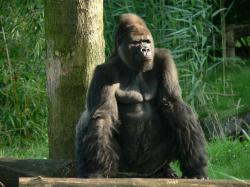 File:Gorilla zoo-leipzig.jpg