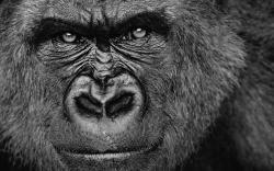 Gorilla Face Gorilla Face