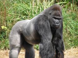 File:Jock, the Gorilla (2).jpg