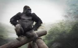 Gorilla Picture Backgrounds 9175 High Resolution