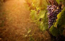Related Wallpapers. Grape ...