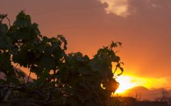 Grapes sunset