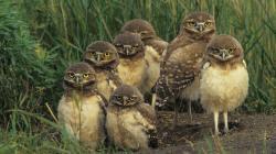 Wallpaper bird grass Owl .